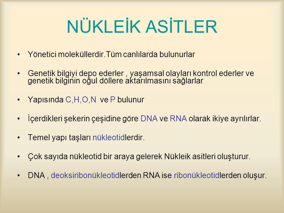 NÜKLEİK ASİTLER Yönetici moleküllerdir.Tüm canlılarda bulunurlar Genetik bilgiyi depo ederler, yaşamsal olayları kontrol ederler ve genetik bilginin oğul döllere aktarılmasını sağlarlar Yapısında C,H,O,N ve P bulunur İçerdikleri şekerin çeşidine göre DNA ve RNA olarak ikiye ayrılırlar.