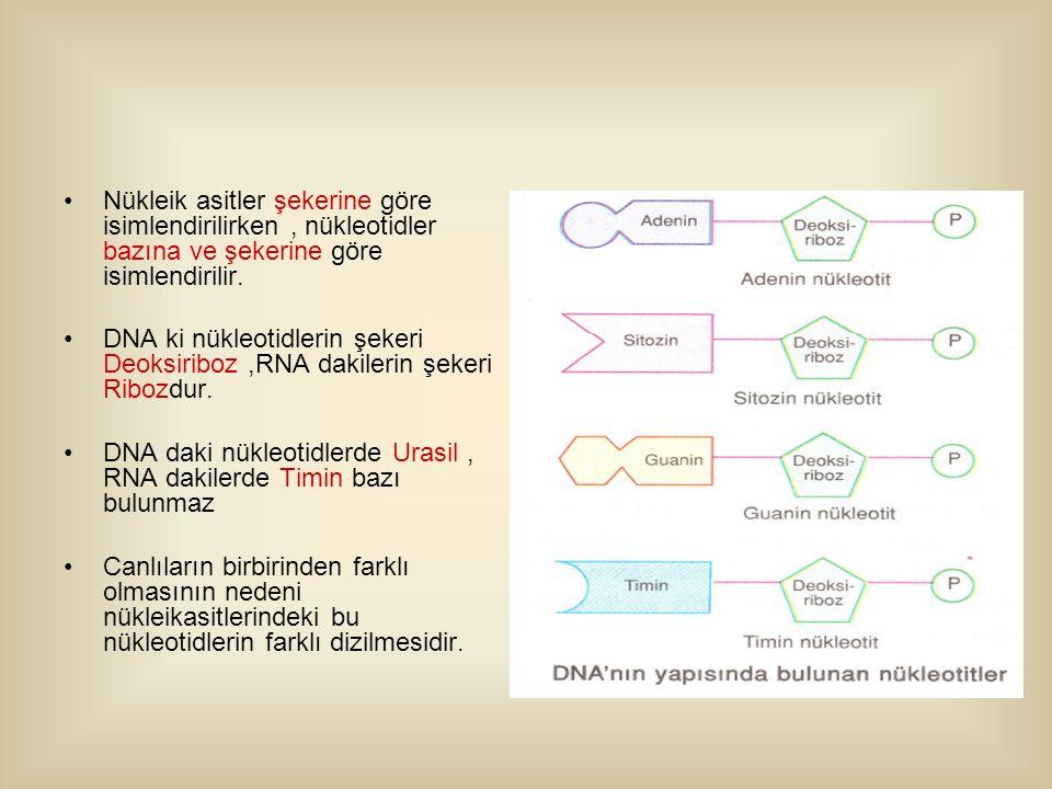 Nükleik asitler şekerine göre isimlendirilirken, nükleotidler bazına ve şekerine göre isimlendirilir.