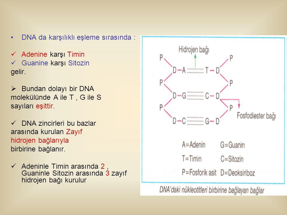 DNA da karşılıklı eşleme sırasında : Adenine karşı Timin Guanine karşı Sitozin gelir.