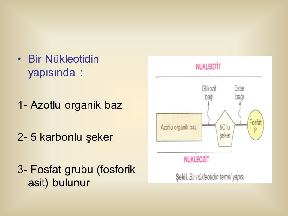 Bir Nükleotidin yapısında : 1- Azotlu organik baz 2- 5 karbonlu şeker 3- Fosfat grubu (fosforik asit) bulunur