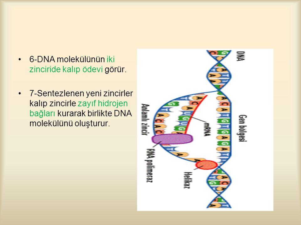 6-DNA molekülünün iki zinciride kalıp ödevi görür.
