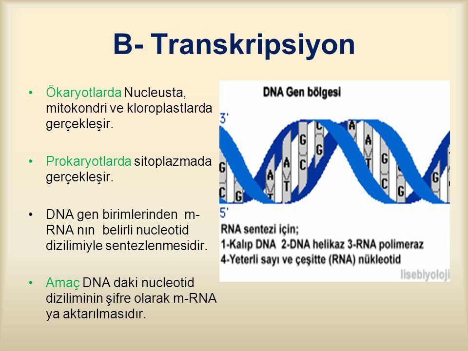 B- Transkripsiyon Ökaryotlarda Nucleusta, mitokondri ve kloroplastlarda gerçekleşir.