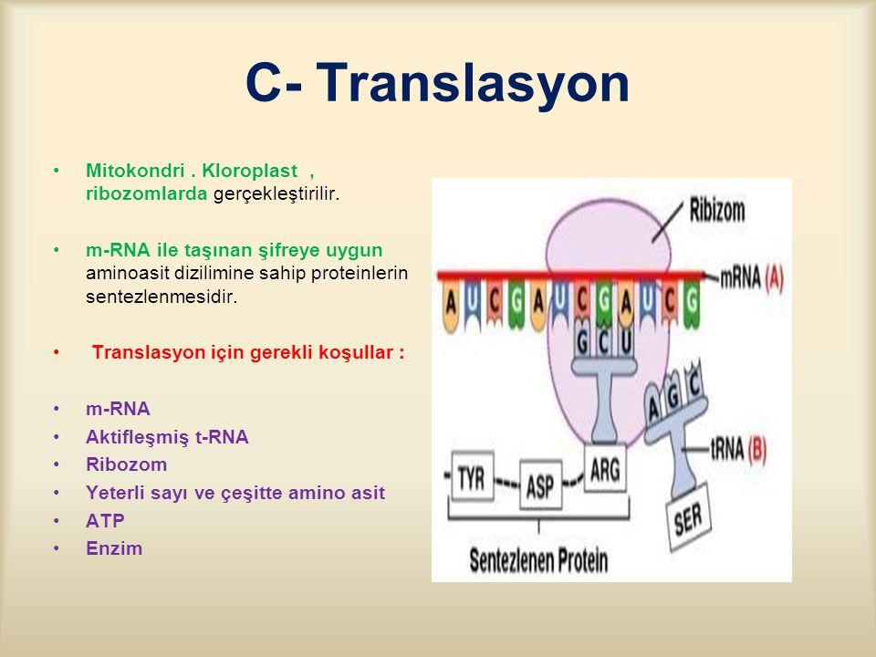 C- Translasyon Mitokondri.Kloroplast, ribozomlarda gerçekleştirilir.
