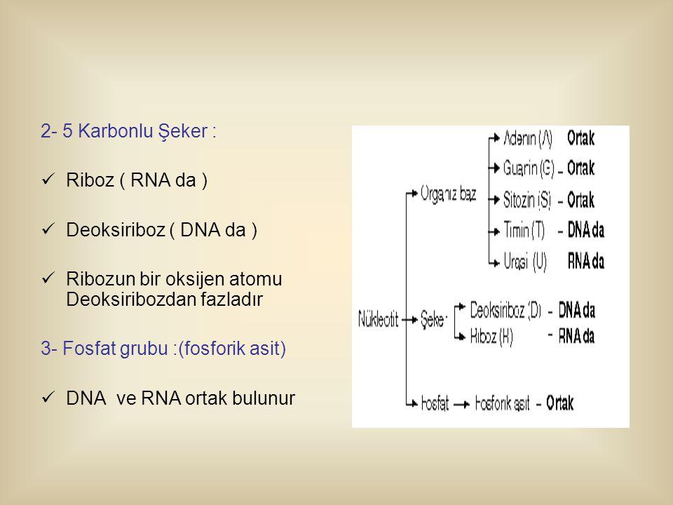 2- 5 Karbonlu Şeker : Riboz ( RNA da ) Deoksiriboz ( DNA da ) Ribozun bir oksijen atomu Deoksiribozdan fazladır 3- Fosfat grubu :(fosforik asit) DNA ve RNA ortak bulunur