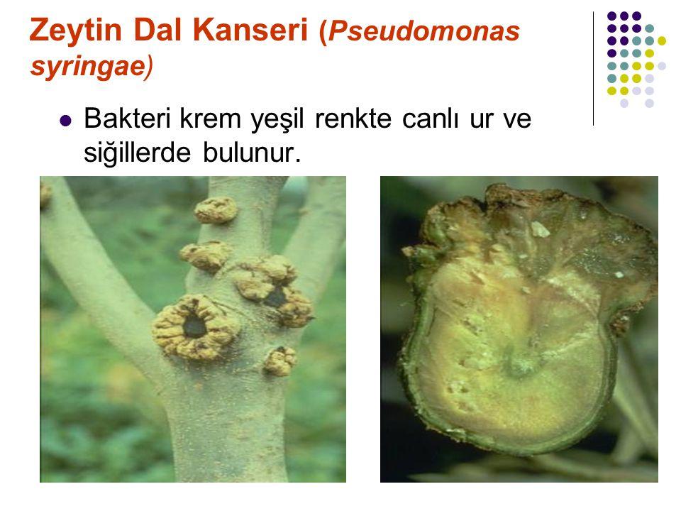 Zeytin Dal Kanseri (Pseudomonas syringae) Bakteri krem yeşil renkte canlı ur ve siğillerde bulunur.