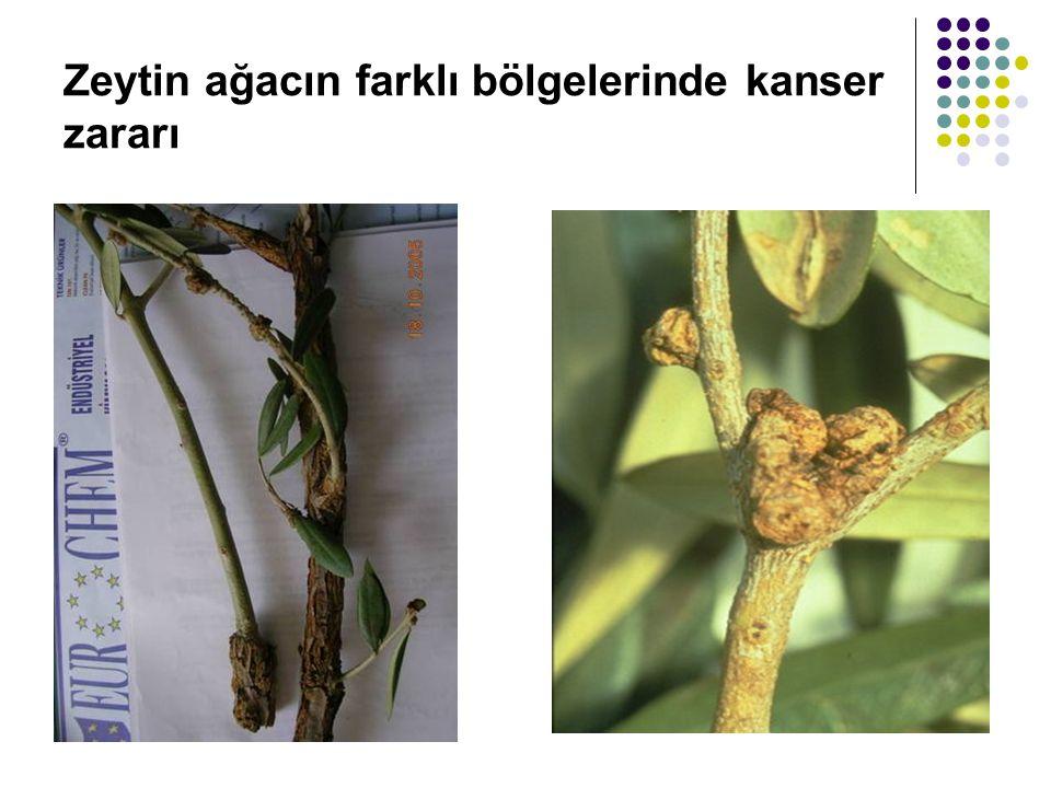 Zeytin ağacın farklı bölgelerinde kanser zararı
