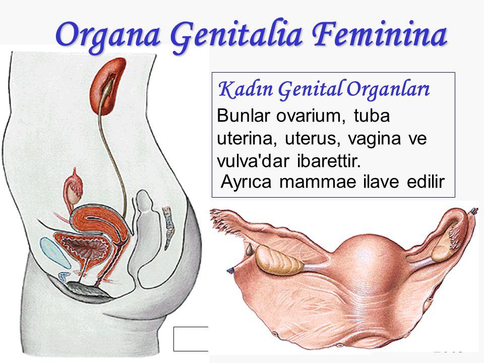 2003 Organa Genitalia Feminina Kadın Genital Organları Bunlar ovarium, tuba uterina, uterus, vagina ve vulva'dar ibarettir. Ayrıca mammae ilave edilir