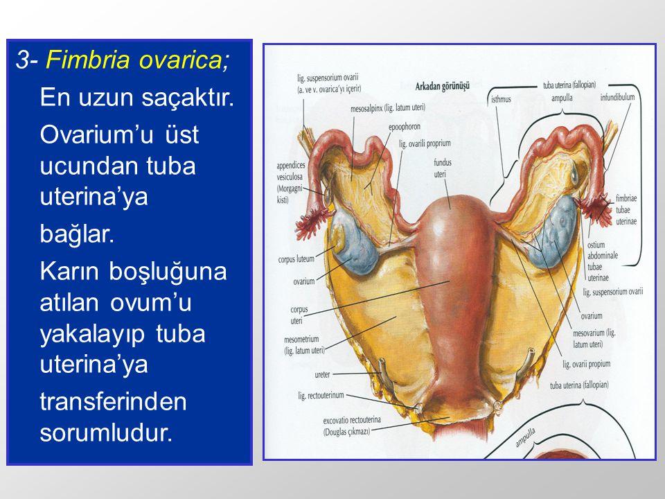 3- Fimbria ovarica; En uzun saçaktır. Ovarium'u üst ucundan tuba uterina'ya bağlar. Karın boşluğuna atılan ovum'u yakalayıp tuba uterina'ya transferin