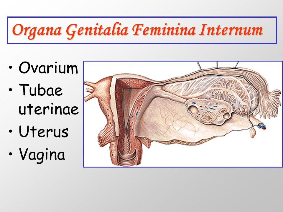 Ovarium'un arteriyel dolaşımı; A.ovarica: L1, aorta abdominalis Lig.