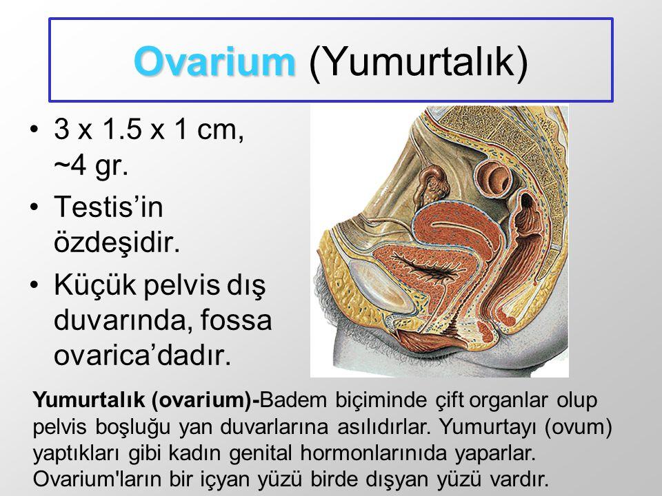 Ovarium Ovarium (Yumurtalık) 3 x 1.5 x 1 cm, ~4 gr. Testis'in özdeşidir. Küçük pelvis dış duvarında, fossa ovarica'dadır. Yumurtalık (ovarium)-Badem b