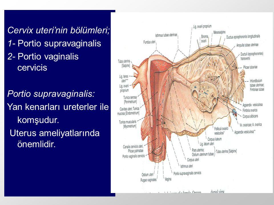 Cervix uteri'nin bölümleri; 1- Portio supravaginalis 2- Portio vaginalis cervicis Portio supravaginalis: Yan kenarları ureterler ile komşudur. Uterus