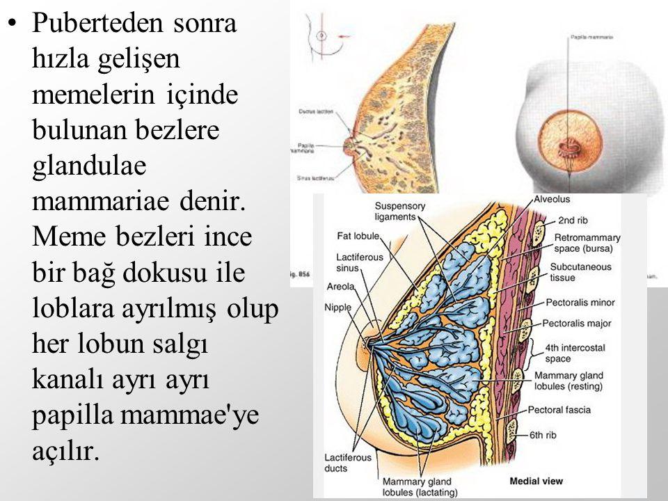 Puberteden sonra hızla gelişen memelerin içinde bulunan bezlere glandulae mammariae denir. Meme bezleri ince bir bağ dokusu ile loblara ayrılmış olup