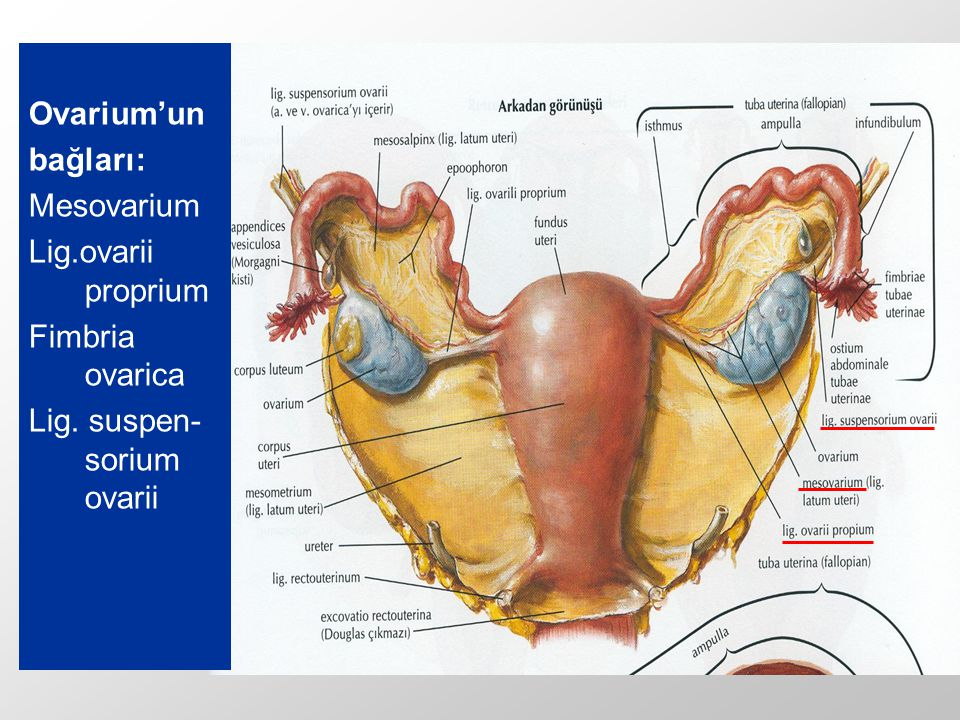 Ovarium'un bağları; 1- Mesovarium; Ovarium'un ön kenarını, lig.