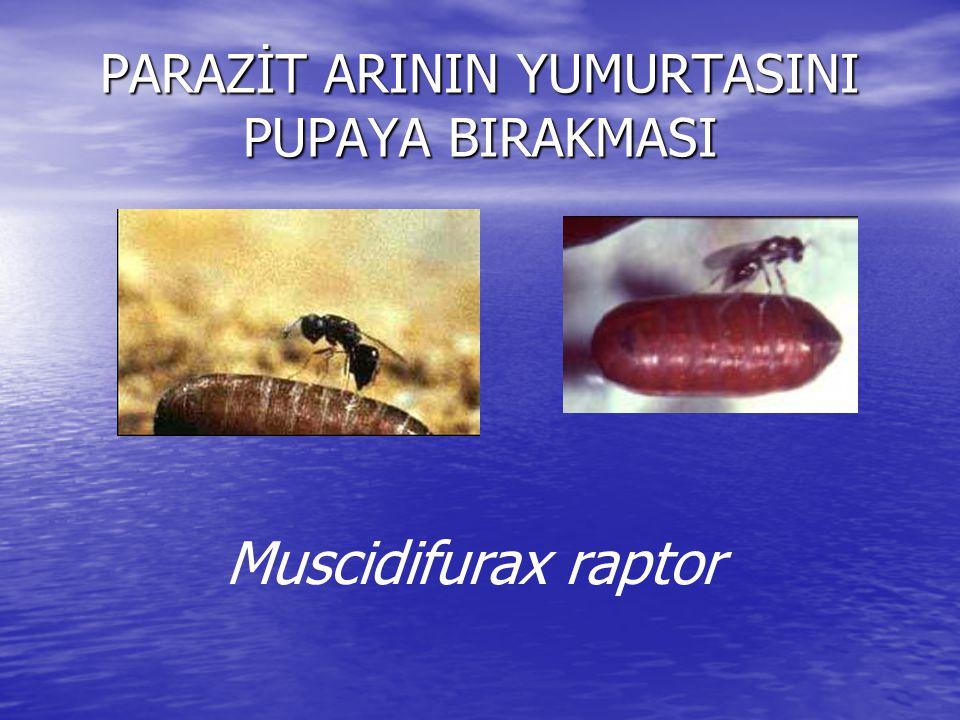 PARAZİT ARININ YUMURTASINI PUPAYA BIRAKMASI Muscidifurax raptor
