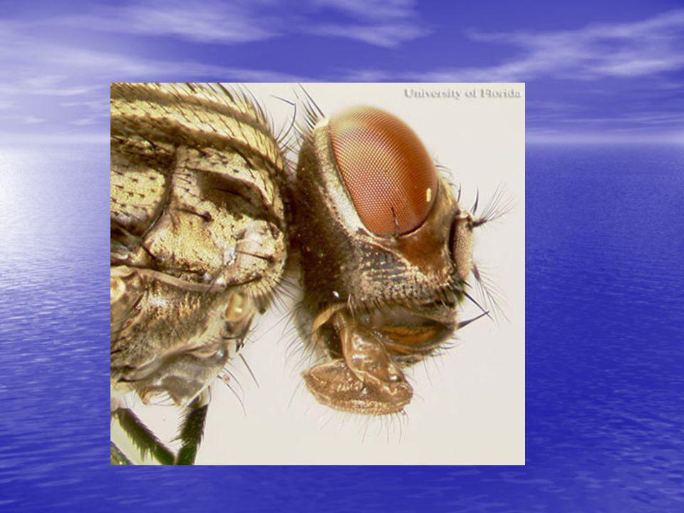 Biyolojik Mücadele Parazit ve Predatörlerin kullanılması Parazit ve Predatörlerin kullanılması Parazit arılar, larva yiyen sinekler kuşlar, örümcekler, bakteri ve funguslar