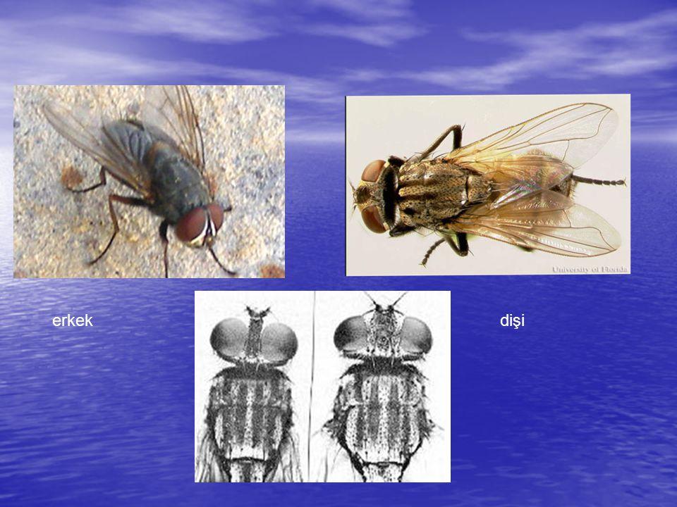 Holometabol böceklerdir. Yaşamlarında dört evre vardır YumurtaLarvaPupaErgin
