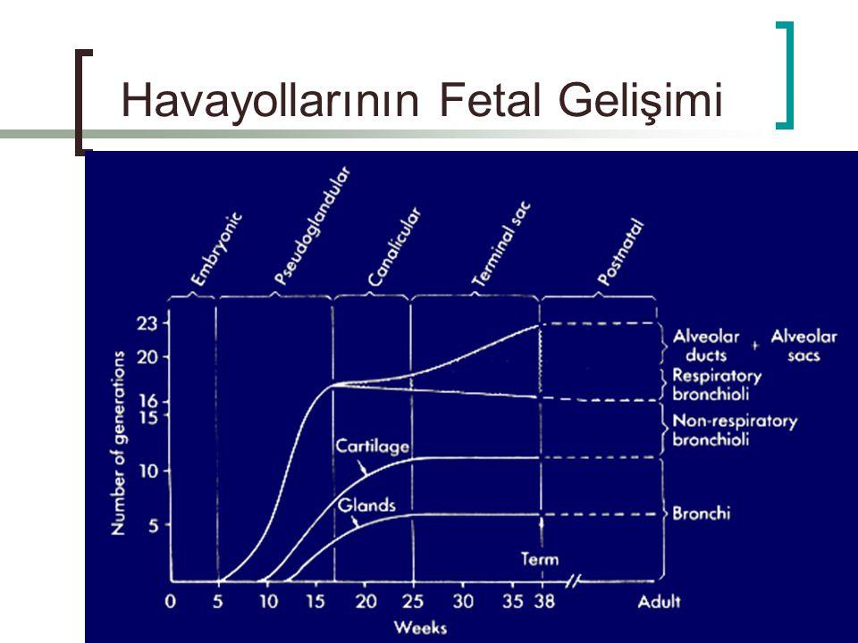 Havayollarının Fetal Gelişimi