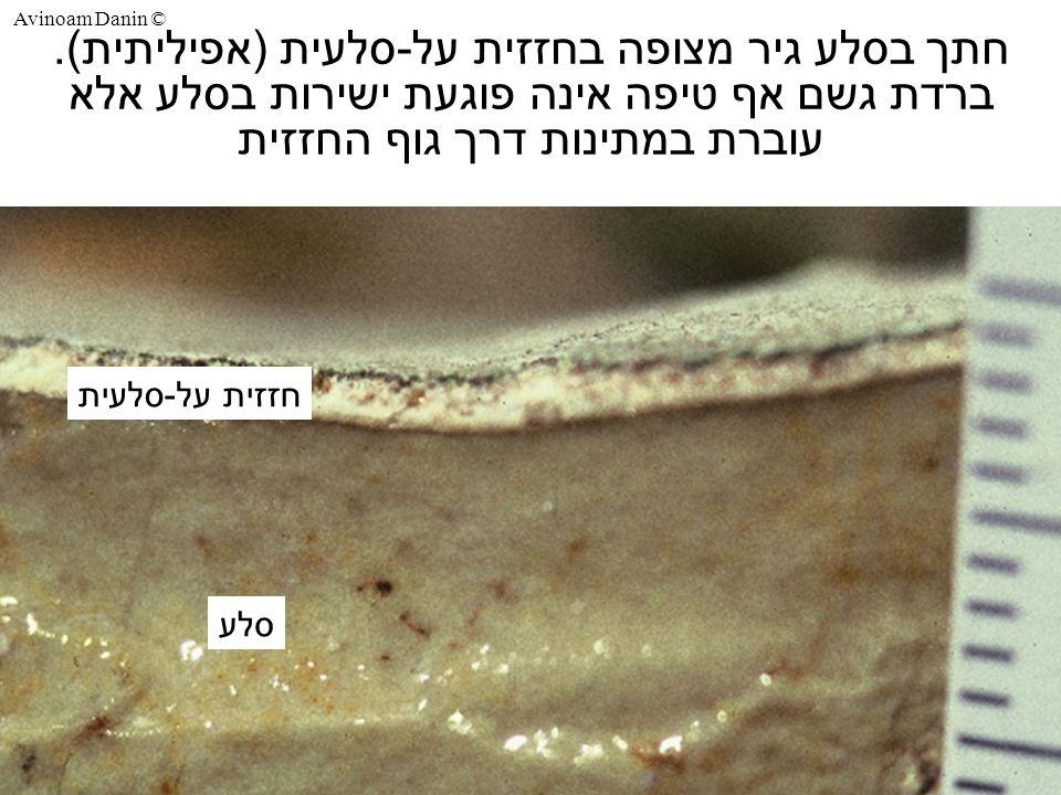 Avinoam Danin © חתך בסלע גיר מצופה בחזזית על-סלעית (אפיליתית).