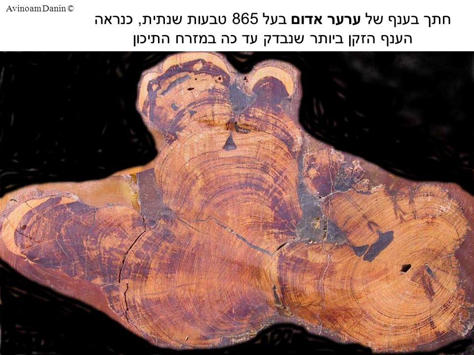 Avinoam Danin © חתך בענף של ערער אדום בעל 865 טבעות שנתית, כנראה הענף הזקן ביותר שנבדק עד כה במזרח התיכון