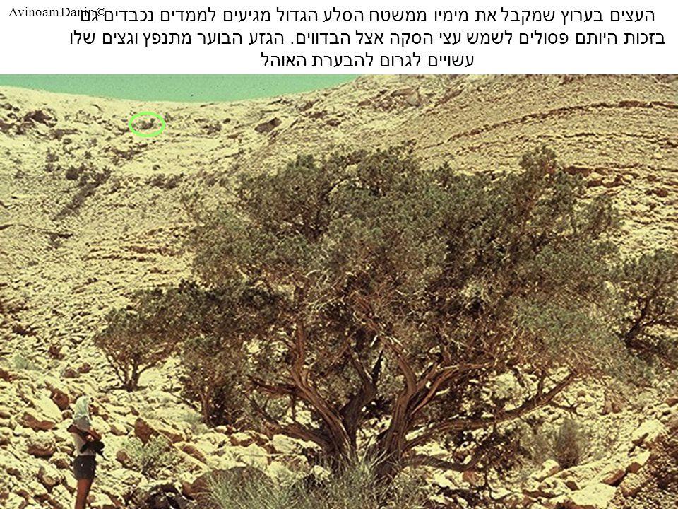 Avinoam Danin © העצים בערוץ שמקבל את מימיו ממשטח הסלע הגדול מגיעים לממדים נכבדים גם בזכות היותם פסולים לשמש עצי הסקה אצל הבדווים.