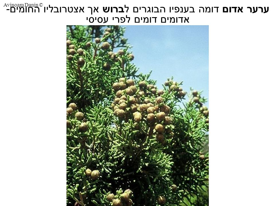 Avinoam Danin © ערער אדום דומה בענפיו הבוגרים לברוש אך אצטרובליו החומים- אדומים דומים לפרי עסיסי