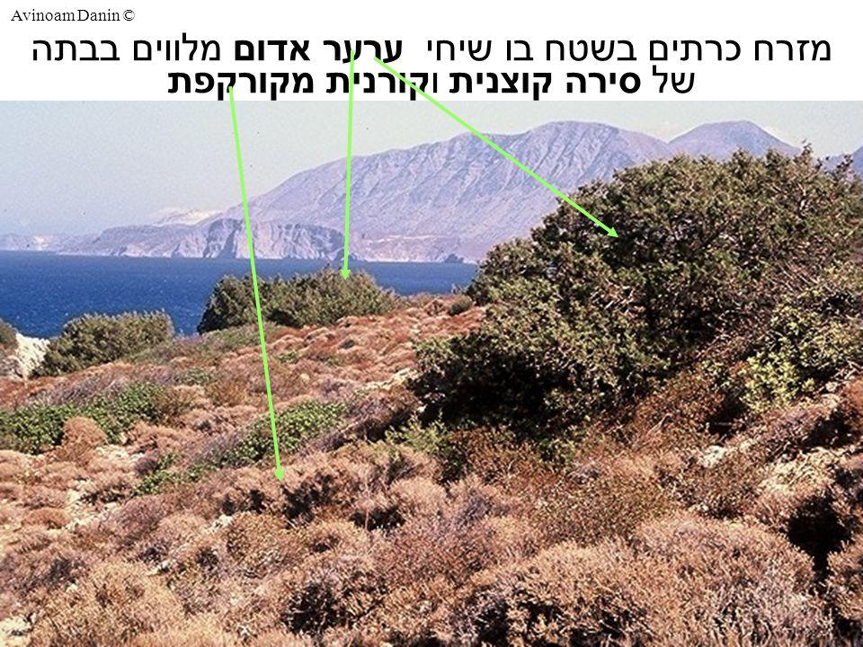 Avinoam Danin © מזרח כרתים בשטח בו שיחי ערער אדום מלווים בבתה של סירה קוצנית וקורנית מקורקפת
