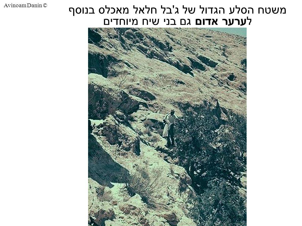 Avinoam Danin © משטח הסלע הגדול של ג בל חלאל מאכלס בנוסף לערער אדום גם בני שיח מיוחדים