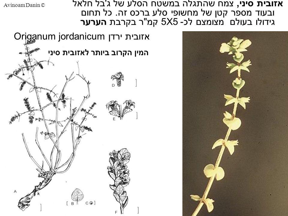 Avinoam Danin © אזובית סיני, צמח שהתגלה במשטח הסלע של ג בל חלאל ובעוד מספר קטן של מחשופי סלע ברכס זה.