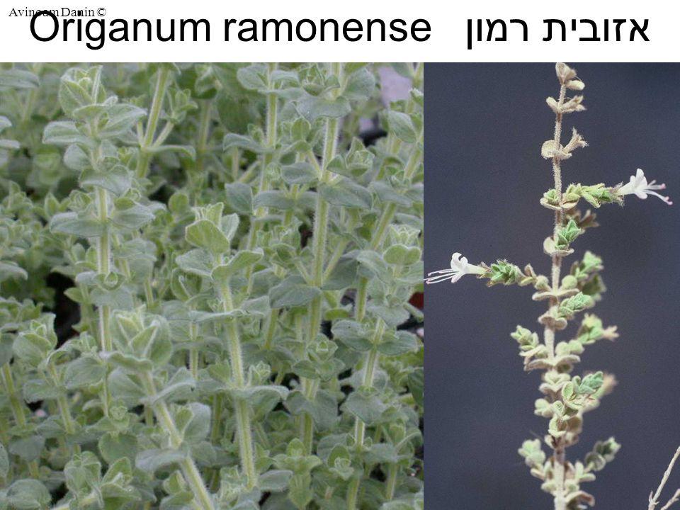 Avinoam Danin © Origanum ramonense אזובית רמון