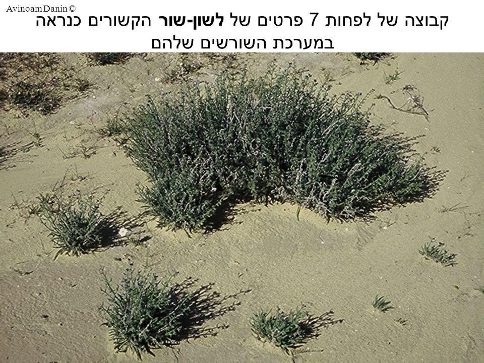 Avinoam Danin © קבוצה של לפחות 7 פרטים של לשון - שור הקשורים כנראה במערכת השורשים שלהם