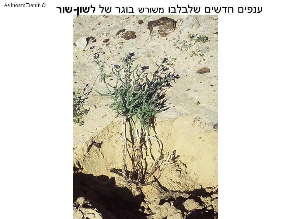 Avinoam Danin © ענפים חדשים שלבלבו משורש בוגר של לשון - שור