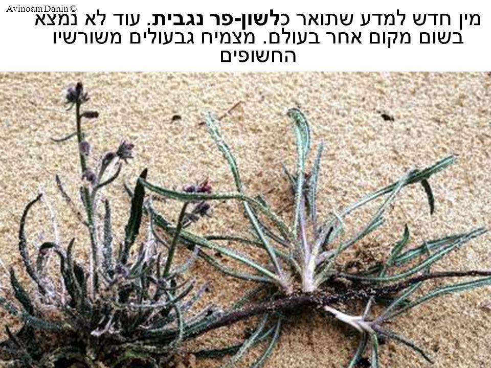 Avinoam Danin © מין חדש למדע שתואר כלשון - פר נגבית.