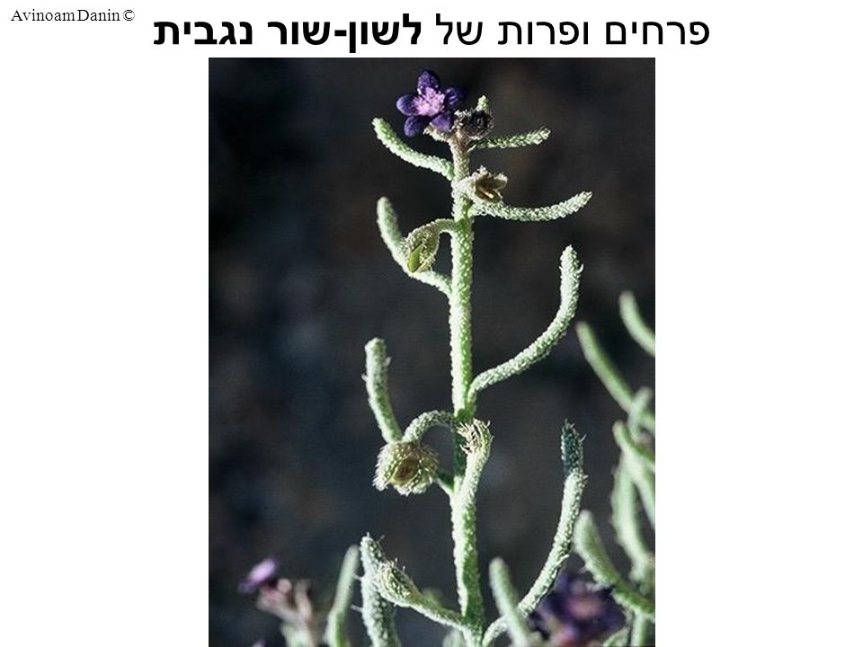 Avinoam Danin © פרחים ופרות של לשון - שור נגבית