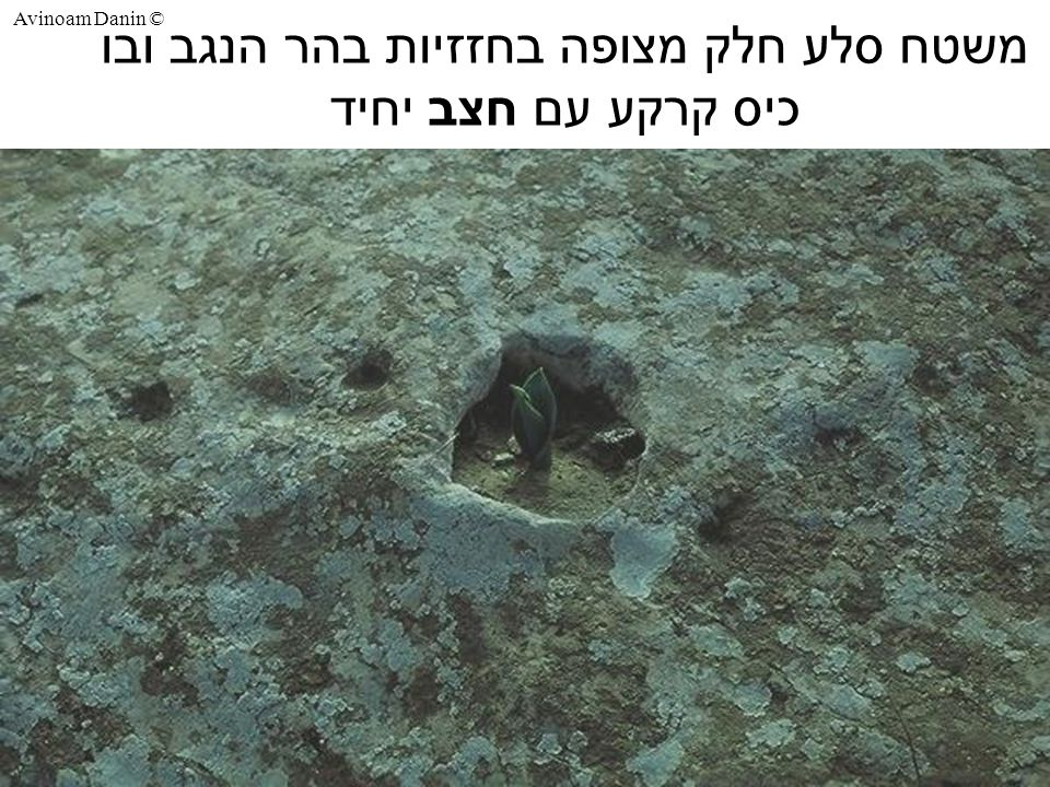 Avinoam Danin © משטח סלע חלק מצופה בחזזיות בהר הנגב ובו כיס קרקע עם חצב יחיד