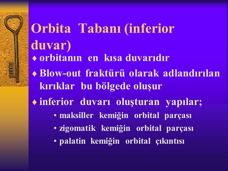 Orbita Tabanı (inferior duvar)  orbitanın en kısa duvarıdır  Blow-out fraktürü olarak adlandırılan kırıklar bu bölgede oluşur  inferior duvarı oluş