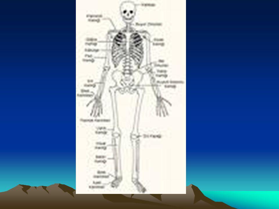 İSKELET:Vücudumuzun dik durmasını sağlayan sert yapıya iskelet denir.