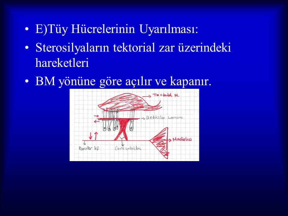 E)Tüy Hücrelerinin Uyarılması: Sterosilyaların tektorial zar üzerindeki hareketleri BM yönüne göre açılır ve kapanır.