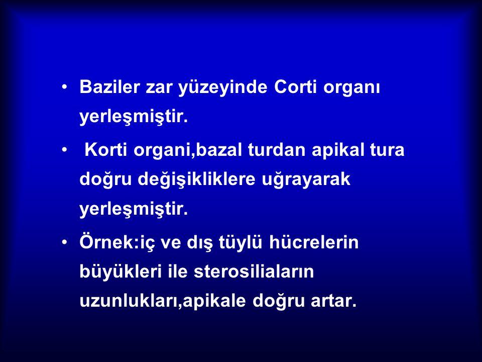 Baziler zar yüzeyinde Corti organı yerleşmiştir. Korti organi,bazal turdan apikal tura doğru değişikliklere uğrayarak yerleşmiştir. Örnek:iç ve dış tü