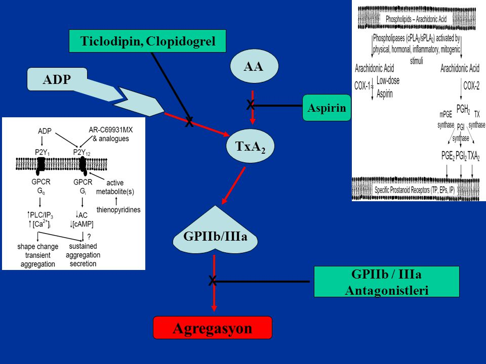 AA TxA 2 Aspirin ADP GPIIb/IIIa Agregasyon GPIIb / IIIa Antagonistleri Ticlodipin, Clopidogrel X X X