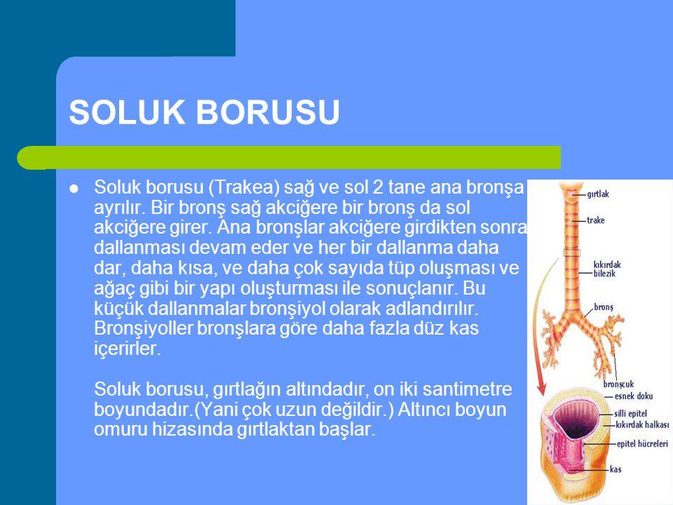 SOLUK BORUSU Soluk borusu (Trakea) sağ ve sol 2 tane ana bronşa ayrılır. Bir bronş sağ akciğere bir bronş da sol akciğere girer. Ana bronşlar akciğere