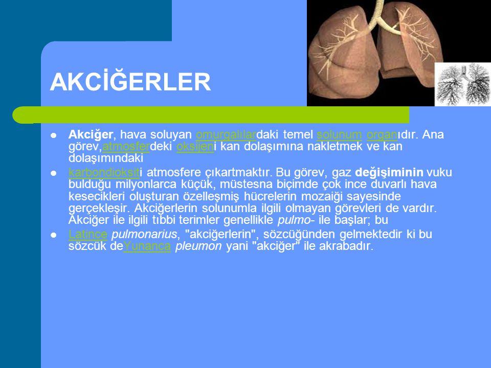 AKCİĞERLER Akciğer, hava soluyan omurgalılardaki temel solunum organıdır. Ana görev,atmosferdeki oksijeni kan dolaşımına nakletmek ve kan dolaşımındak