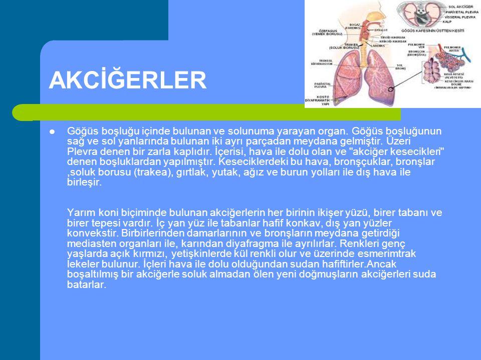AKCİĞERLER Göğüs boşluğu içinde bulunan ve solunuma yarayan organ. Göğüs boşluğunun sağ ve sol yanlarında bulunan iki ayrı parçadan meydana gelmiştir.