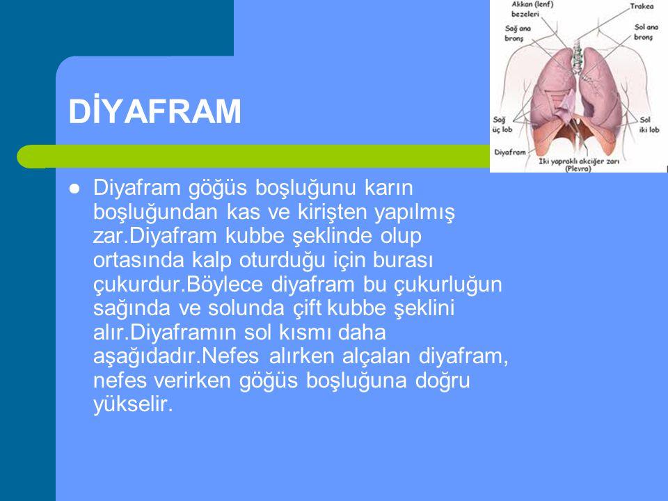 DİYAFRAM Diyafram göğüs boşluğunu karın boşluğundan kas ve kirişten yapılmış zar.Diyafram kubbe şeklinde olup ortasında kalp oturduğu için burası çuku