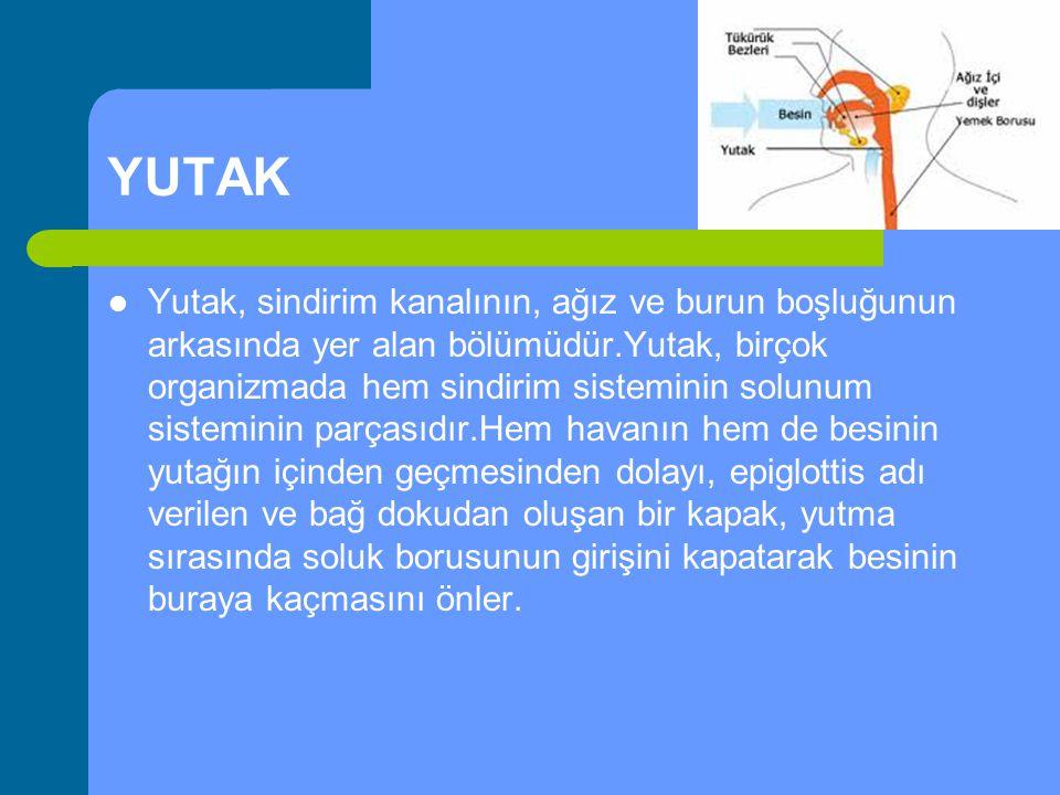YUTAK Yutak, sindirim kanalının, ağız ve burun boşluğunun arkasında yer alan bölümüdür.Yutak, birçok organizmada hem sindirim sisteminin solunum siste