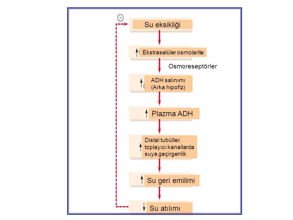 Su eksikliği Ekstraselüler osmolarite Osmoreseptörler ADH salınımı (Arka hipofiz) Plazma ADH Distal tubüller, toplayıcı kanallarda suya geçirgenlik Su geri emilimi Su atılımı