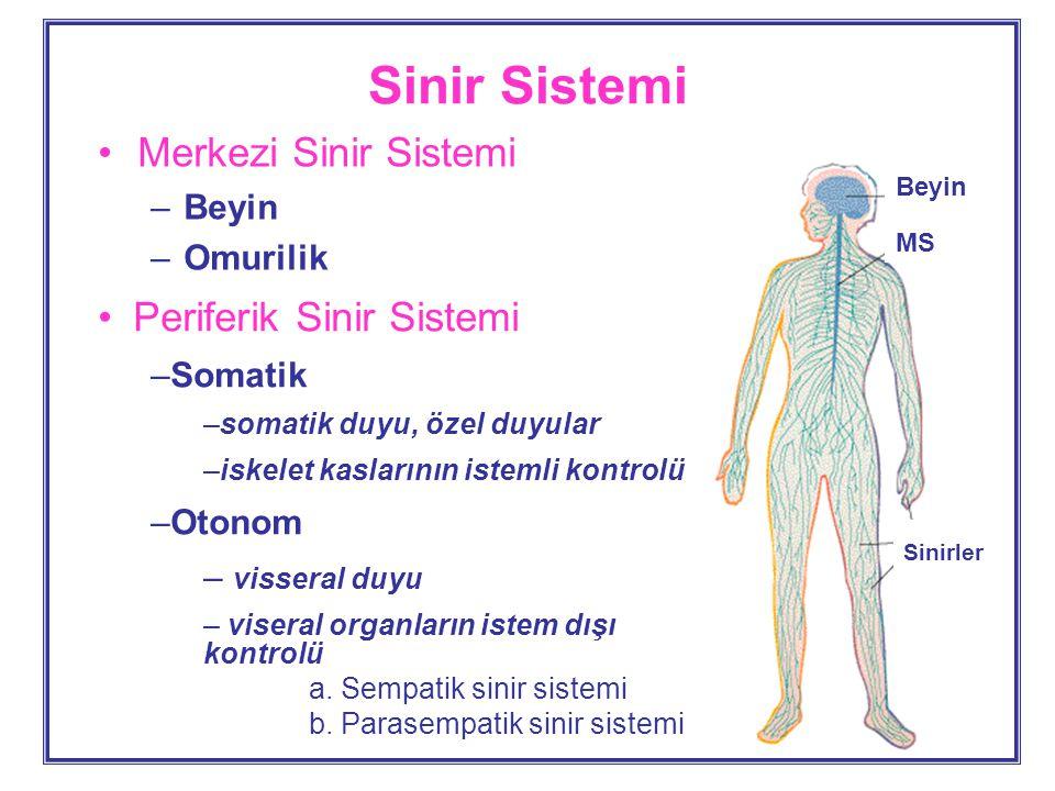 Sinir Sistemi Merkezi Sinir Sistemi –Beyin –Omurilik Periferik Sinir Sistemi –Somatik –somatik duyu, özel duyular –iskelet kaslarının istemli kontrolü –Otonom – visseral duyu – viseral organların istem dışı kontrolü a.