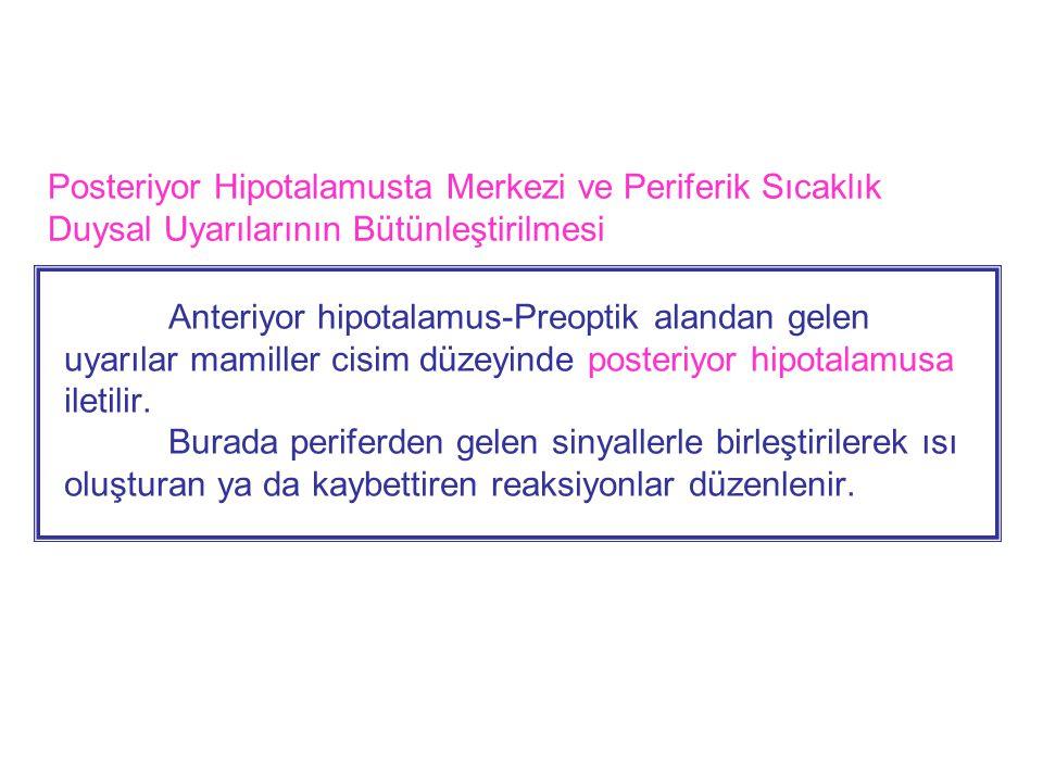 Anteriyor hipotalamus-Preoptik alandan gelen uyarılar mamiller cisim düzeyinde posteriyor hipotalamusa iletilir.