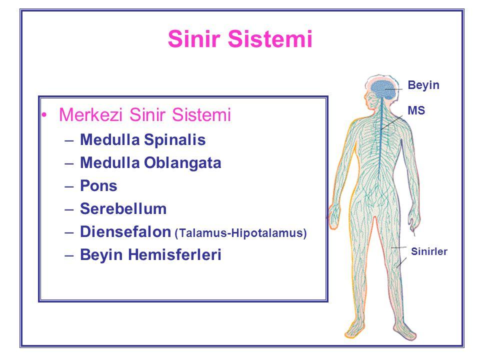 Sinir Sistemi Merkezi Sinir Sistemi –Medulla Spinalis –Medulla Oblangata –Pons –Serebellum –Diensefalon (Talamus-Hipotalamus) –Beyin Hemisferleri Beyin MS Sinirler