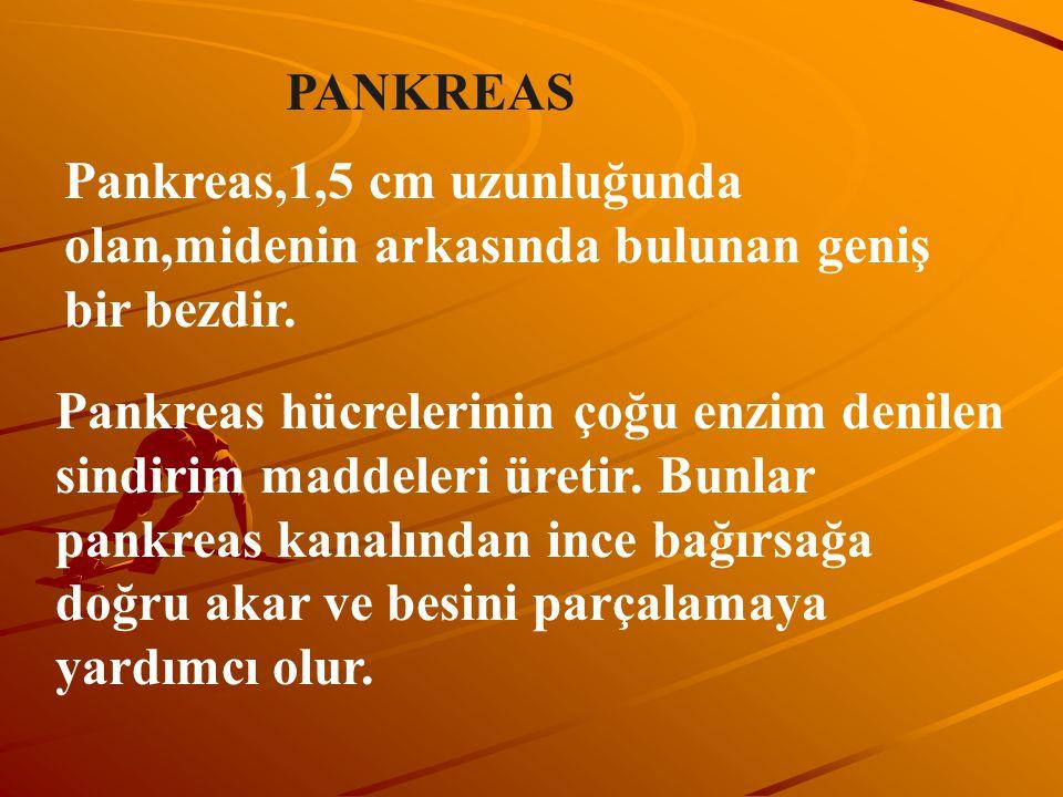 PANKREAS Pankreas,1,5 cm uzunluğunda olan,midenin arkasında bulunan geniş bir bezdir. Pankreas hücrelerinin çoğu enzim denilen sindirim maddeleri üret