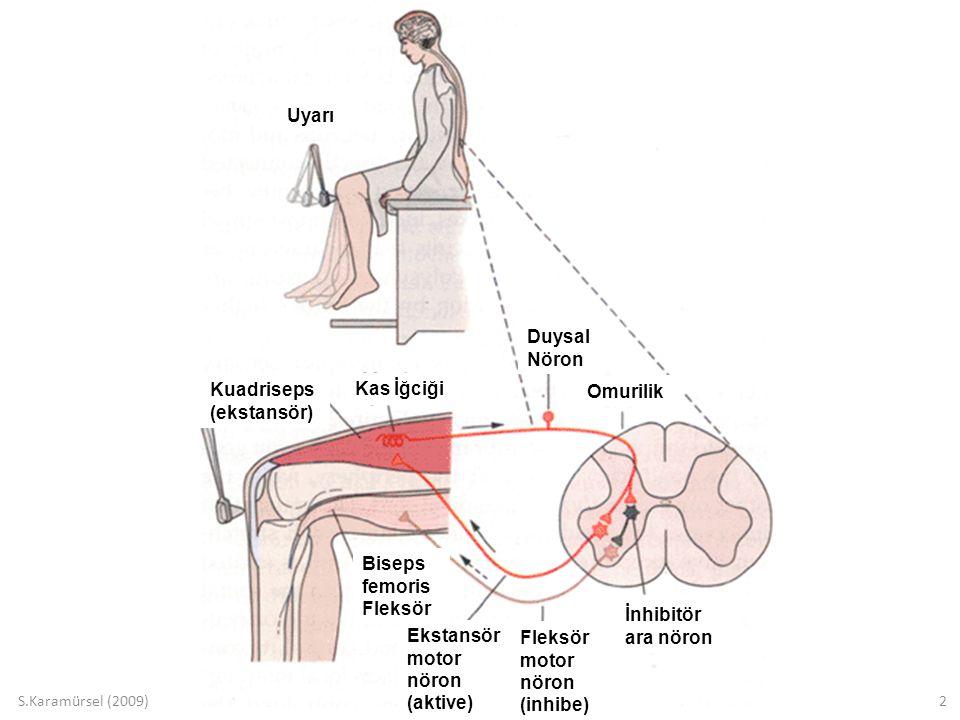S.Karamürsel (2009)2 Uyarı Kuadriseps (ekstansör) Kas İğciği Duysal Nöron Omurilik Biseps femoris Fleksör Ekstansör motor nöron (aktive) Fleksör motor nöron (inhibe) İnhibitör ara nöron